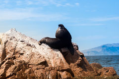 Sea lion is chilling on a rock on pacific ocean Royalty Free Stock Photography