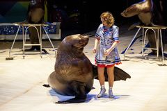 Sea lion in the circus. The tamer and the sea lion are performing in the circus arena. Sea lion in the circus. The tamer and the sea lion are performing in the Stock Photos