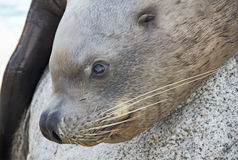 Sea lion close-up Stock Image