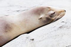 Sea lion closeup. Closeup of a bright sleeping sea lion on a rock Royalty Free Stock Photography