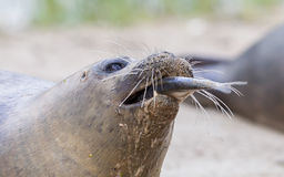 Sea lion closeup, eating fish Stock Images
