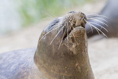 Sea lion closeup, eating fish Royalty Free Stock Photo