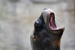 Sea Lion. Closeup of the face of a sea lion Stock Images