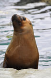 Sea Lion. Closeup of the face of a sea lion Royalty Free Stock Photos