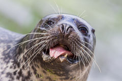 Sea lion closeup Royalty Free Stock Images