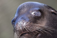 Sea lion closeup Royalty Free Stock Photos