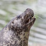 Sea lion closeup Stock Photos