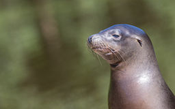 Sea lion closeup Royalty Free Stock Photography