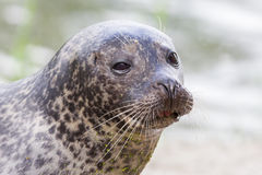 Sea lion closeup Stock Images