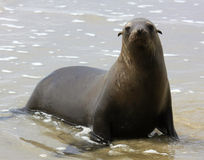 Sea lion on the coast Stock Photos