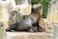 Sea lion and cocky little baby in the sun. A sea lion is one of many marine mammals of the family Otariidae and sea lions are often a popular attraction at zoos Stock Photography