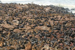 Sea-lion colony Royalty Free Stock Images