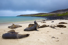 Sea lion colony Royalty Free Stock Photos
