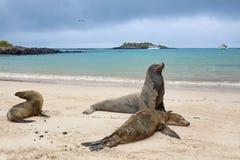 Sea lion colony Royalty Free Stock Image