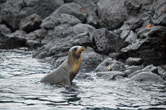Sea lion colony Royalty Free Stock Photo