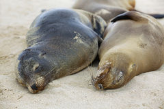 Sea lion colony Stock Images