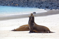 Sea lion colony Royalty Free Stock Photo