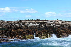 Sea lion colony at Cape Town in South Africa Stock Images