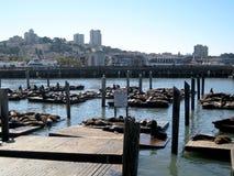 Sea Lion Colony (San Francisco, USA) Royalty Free Stock Photos