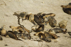 Sea lion colony in south america Stock Photos