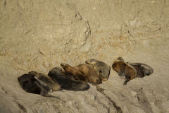 Sea lion colony in south america Stock Photography