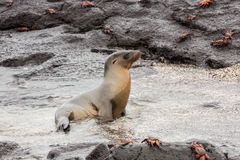 Sea lion coming out of the water. Stock Photos