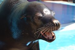 Sea lion complaint Stock Photography