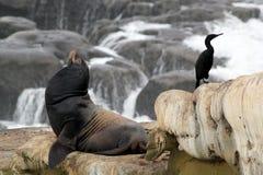 Sea Lion and Cormorant Royalty Free Stock Photo