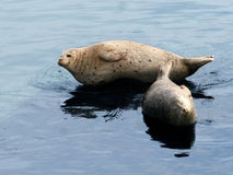 Sea lion couple Stock Image