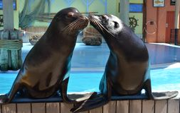 Sea lion couple Stock Photo