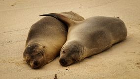 Sea lion couple. This Sea lion couple clearly is in a very healthy relationship royalty free stock photography