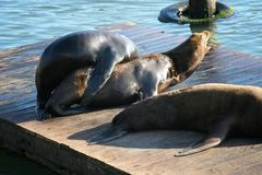 Sea lion couple having sex or breeding. Mating couple of sea lions having sex or breeding on floating wooden raft at Pier 39 in Fisherman& x27;s Wharf district Stock Photo