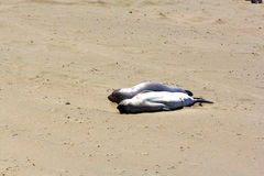 Sea lion couple relax at the beach Stock Image