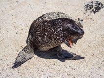 Sea Lion cub yawning, Galapagos Islands Royalty Free Stock Image