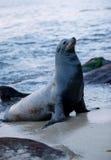 Sea lion. A cute sea lion on the beach Stock Photo