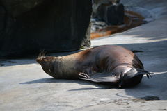 Sea lion (Disambiguation). Cute basking sea lion in the Prague ZOO Royalty Free Stock Images