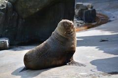 Sea lion (Disambiguation). Cute basking sea lion in the Prague ZOO Royalty Free Stock Photo