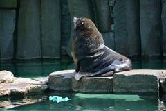Sea lion (Disambiguation). King - sea lion in the Prague ZOO Royalty Free Stock Photos