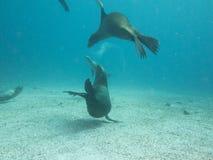 Sea lion dive, sea of cortez, baja california stock photography