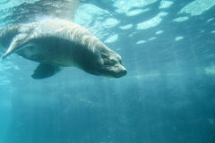 Sea lion diving underwater in zoo Stock Photo