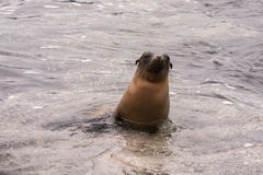 Sea lion emerging from the water. Stock Photo