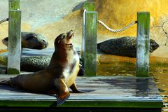 Sea lion enjoying the sun. Royalty Free Stock Photos