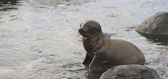 Sea Lion enjoying the water Royalty Free Stock Photography
