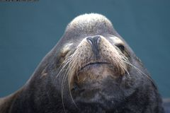 Sea Lion Face Royalty Free Stock Images
