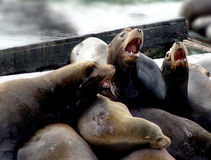 Sea lion family Stock Images