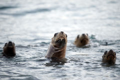 Sea lion family on the beach in Patagonia Stock Photography