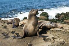Sea Lion family seal - on the beach, La Jolla, California. Sea Lion - family - seal on the beach, La Jolla, California royalty free stock photography