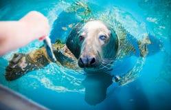 Sea lion feeding Stock Images