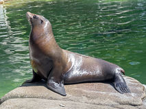 Sea-lion 11 Stock Image