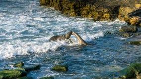 Sea lion fighting. San Diego, California. Near La Jolla Beach. Royalty Free Stock Photography